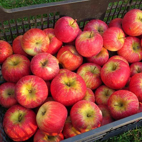 Jablka Melodie - foto