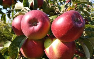 Jablka Karmína - foto