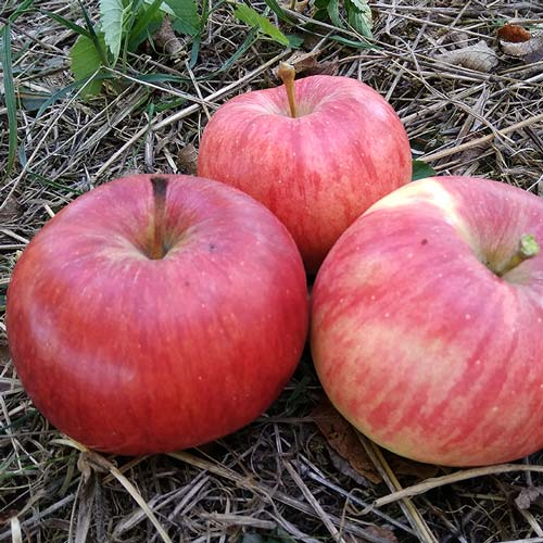 Jablka Angold - foto