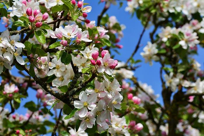 Květy jabloně - Foto